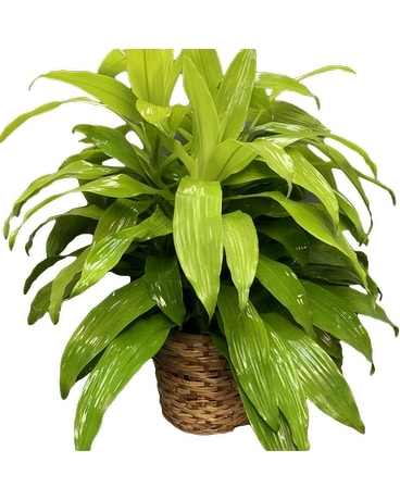 Limelight Dracaena - Large Plant