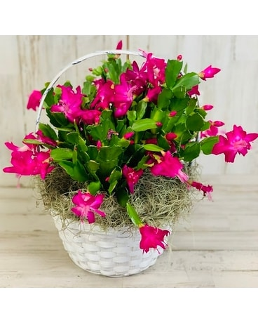 Thanksgiving Cactus Plant