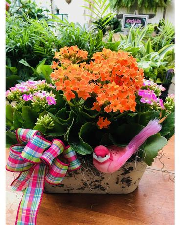 Blooming Kalanchoe Garden Plant