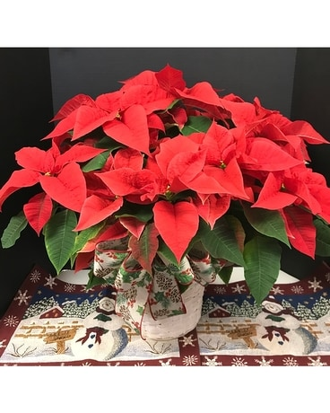 Medium Poinsettia Flower Arrangement