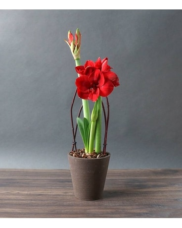 Amaryllis Beauty Flower Arrangement