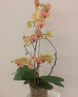 Multi-Color Orchid Plant