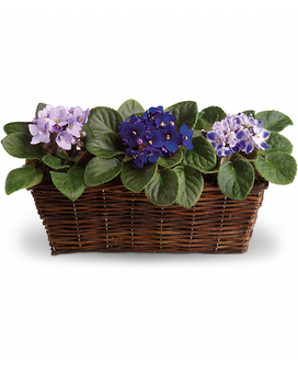 Sweet Violet Trio Flower Arrangement