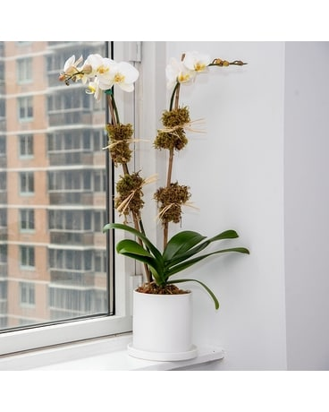 Double White Orchid Plant