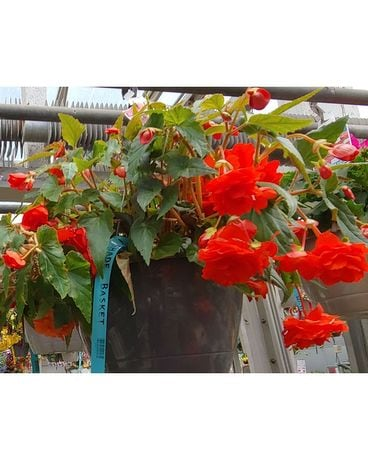 Schroeder's Shade Hanging Baskets Plant