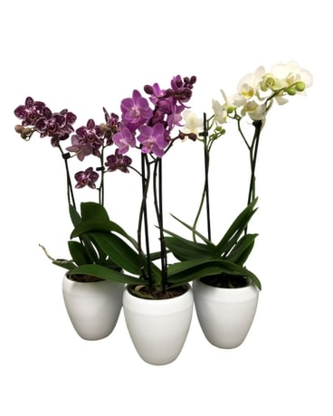 Double Stem Orchid Plants Plant