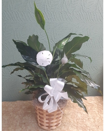 Peace Lily assorted sizes Plant