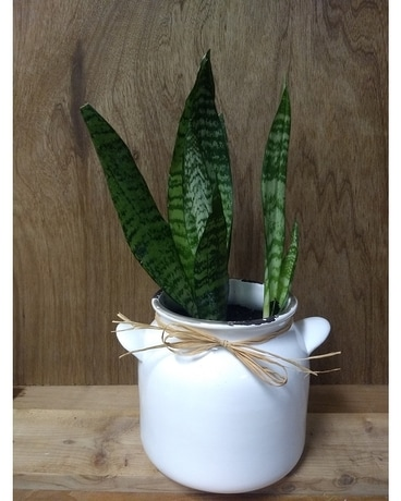 Farmhouse Chic Snake Plant Plant