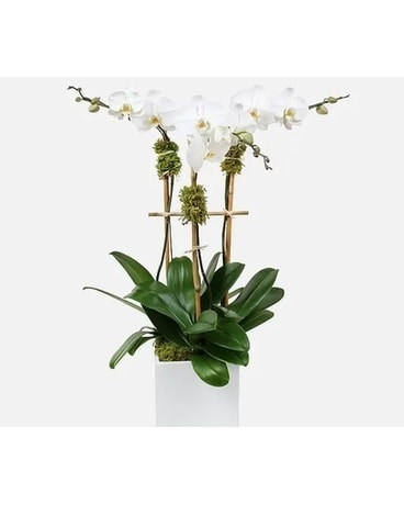 Triple Stem White Orchid Plant