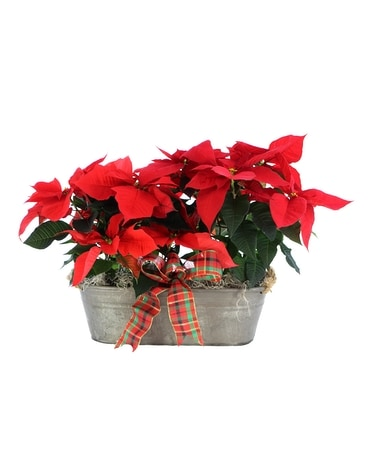 Heritage Poinsettias