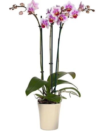 Valentine Potted Orchid Plant