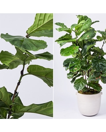 Large Interiors Fiddle Leaf Fig Flower Arrangement
