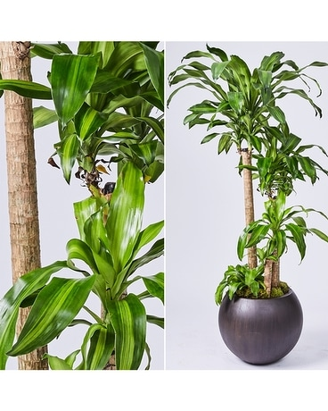 Large Interiors: African Corn Plant in Orb Planter Flower Arrangement