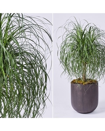 Large Interiors: Ponytail Palm in Woodgrain Flower Arrangement