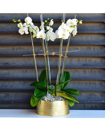 Orchids on Ice Collection - Luxe Plant