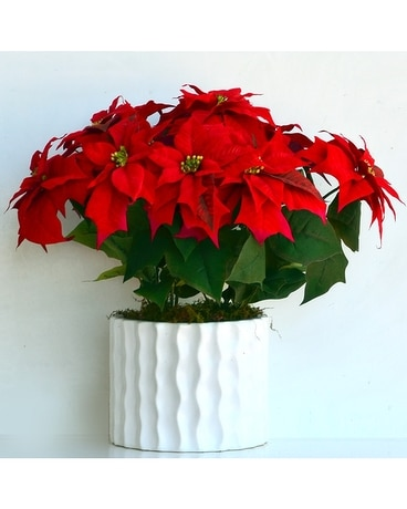 Poinsettia Punch - Large Plant