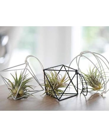Air Plant Collection Plant