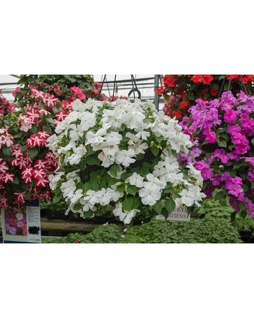 Impatiens Hanging Basket Plant